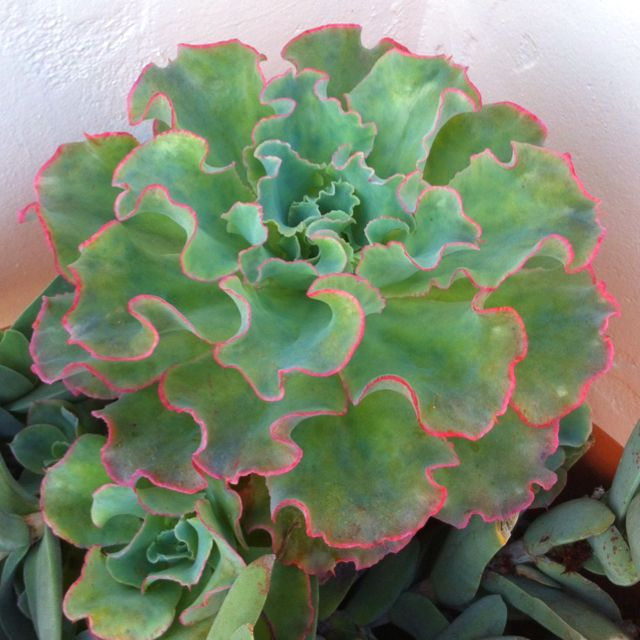 Succulent That Looks Like Lettuce