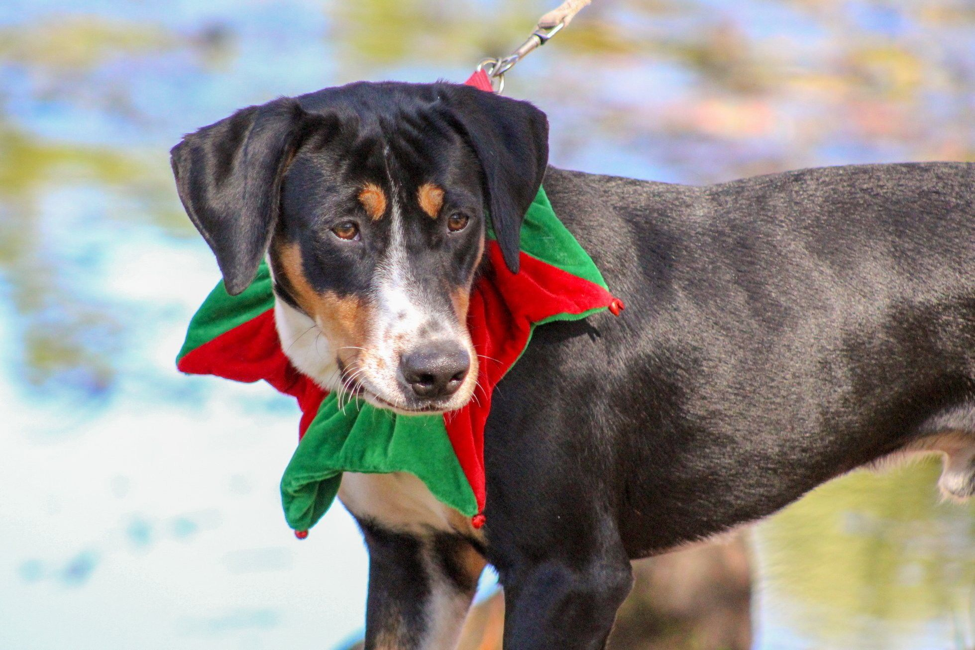 Adopt Barney on Entlebucher mountain dog, Dog mixes