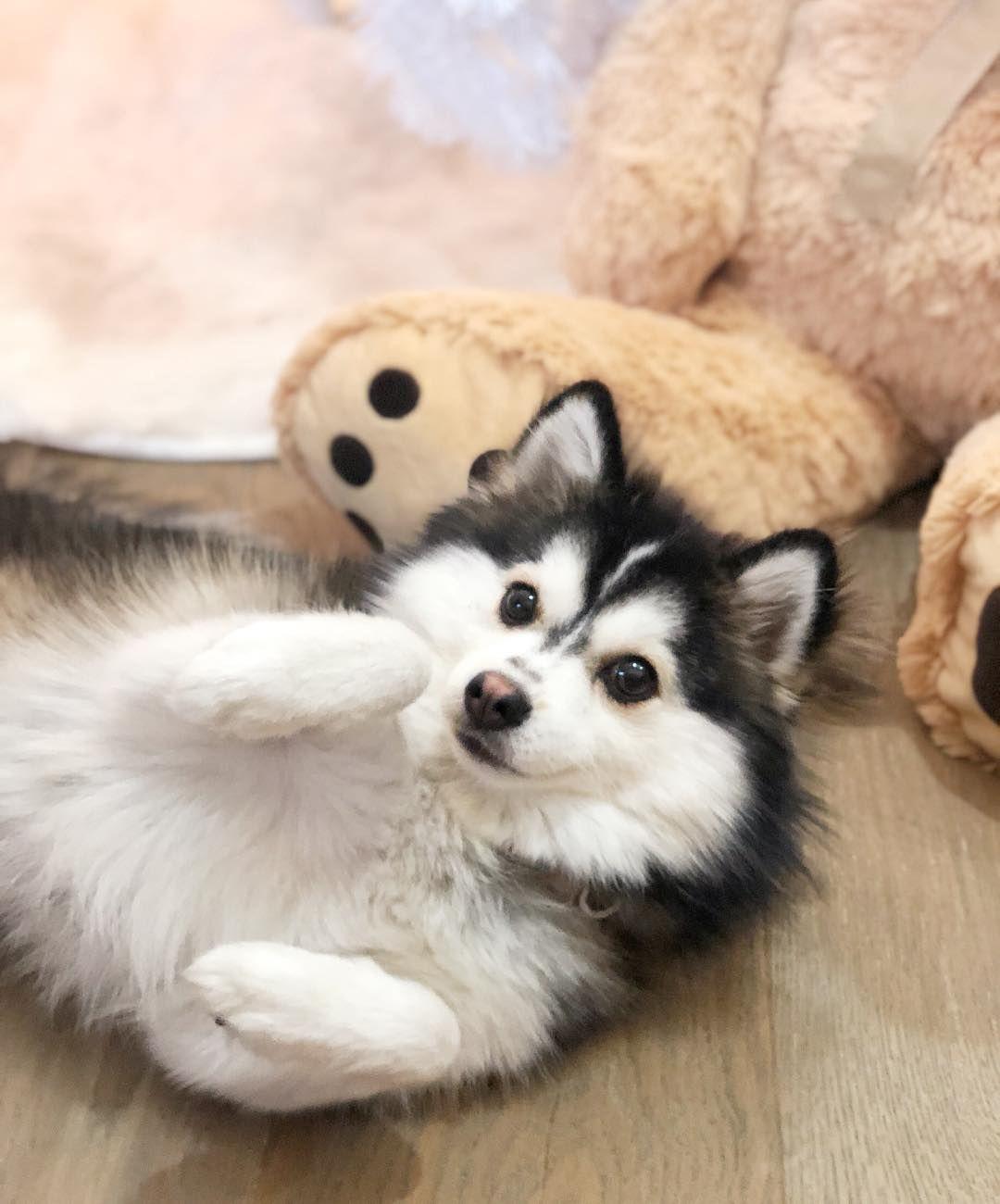 Everything You Want To Know About Pomsky Husky Pomeranian
