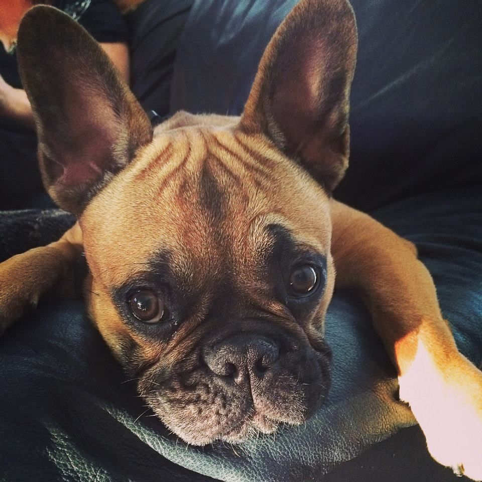 Buddha A 7 Month Old French Bulldog Puppy The Daily Frenchie