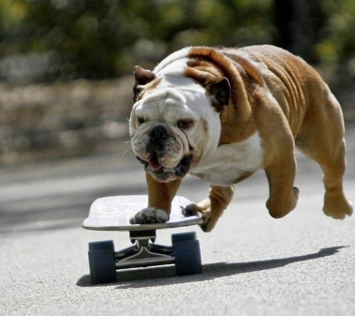 Skateboarding Bulldog Skateboard Bulldog Bulldog Wallpaper