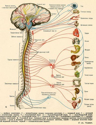 Vintage 1961 Russian Medical Lithographs Featuring Human Anatomy, Nervous System, Kidney Health