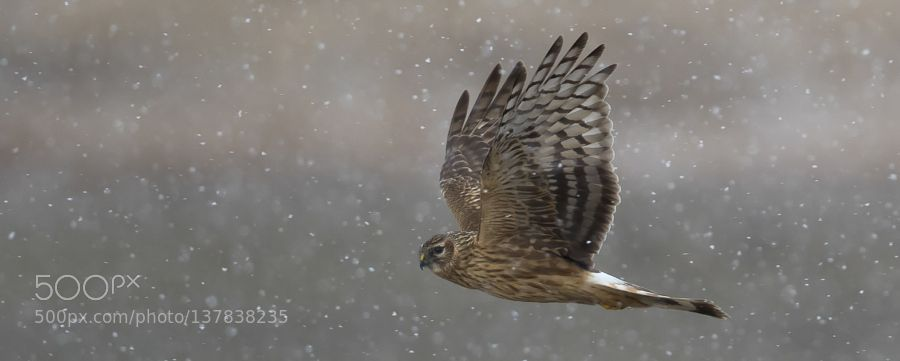 http://ift.tt/1K6283m #animals hen harrier by morez http://ift.tt/1KFl5Vv