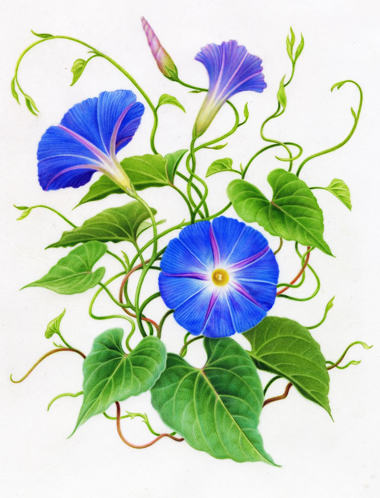 Morning Glory Floral Painting Flower Painting Botanical Drawings