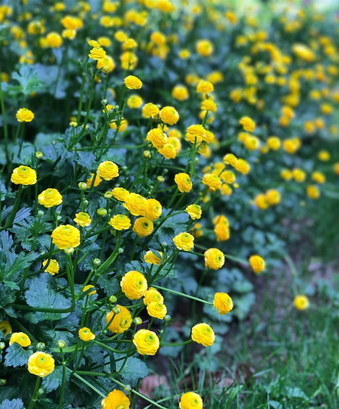 A Favorite From Childhood Ranunculus Acris Flore Pleno I Had A Well Established Drift In My Old Garden Originally Ta Plants Sunny Ranunculus City Garden