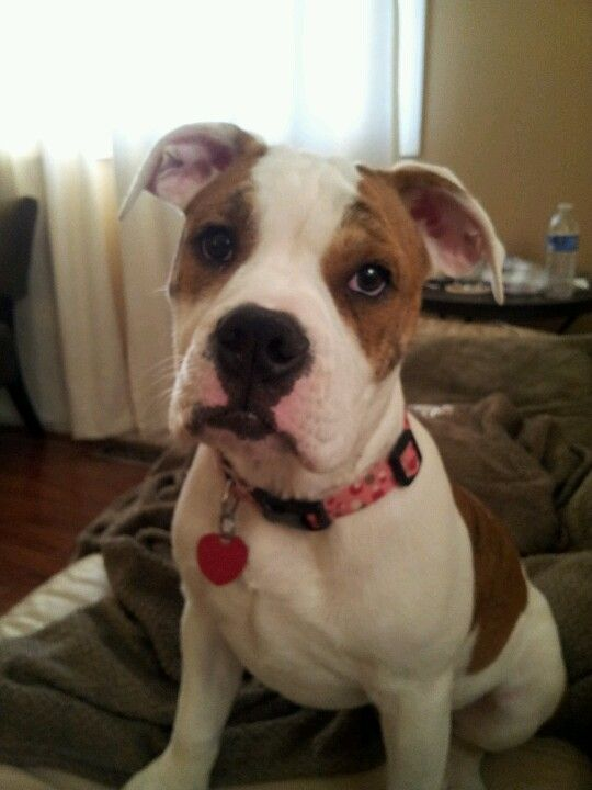 Dolce 4months Old 3 4 English Bulldog 1 4 Boxee Valley
