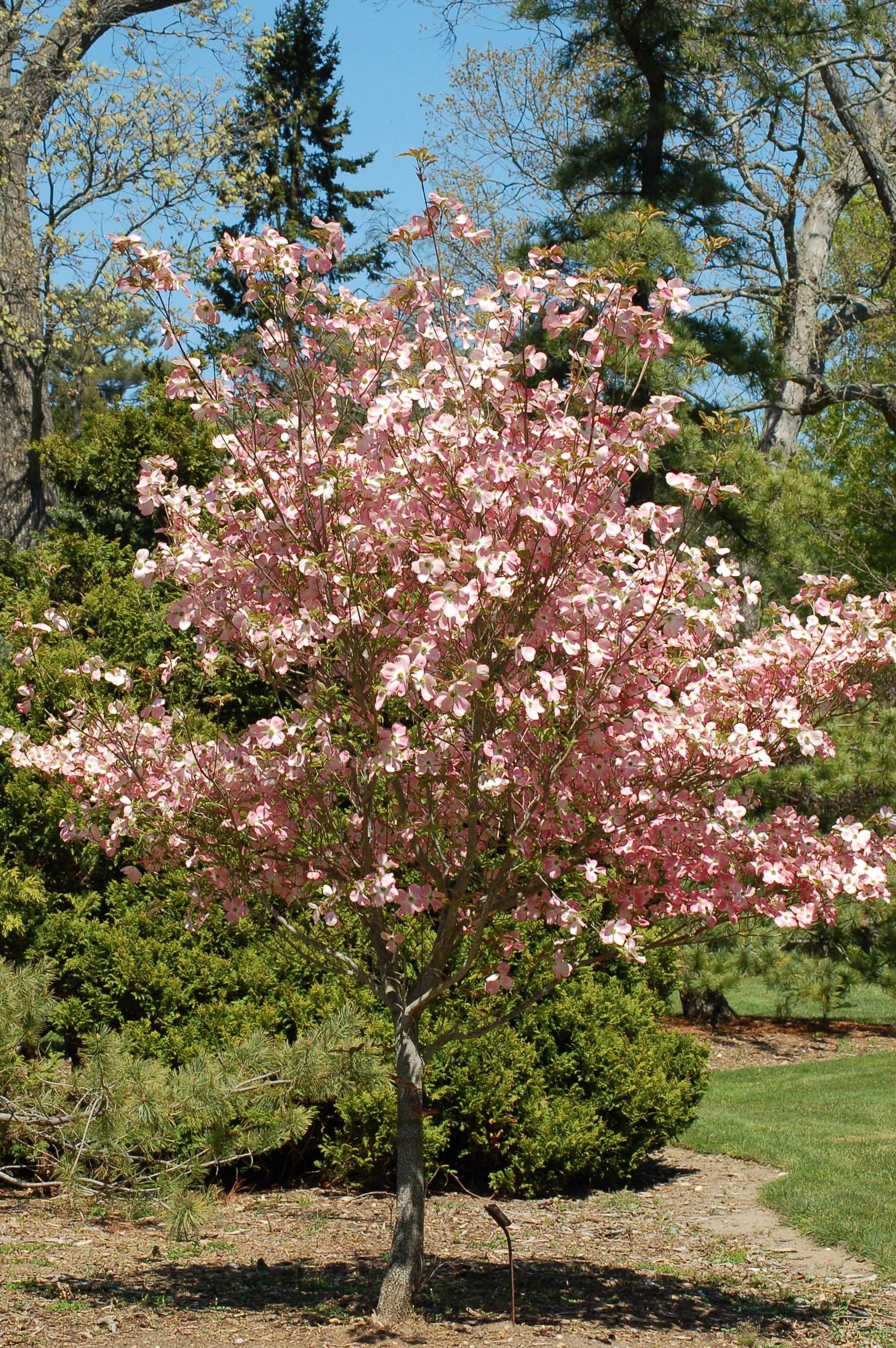 6 Best Dogwood Tree Varieties Dogwood trees, Japanese