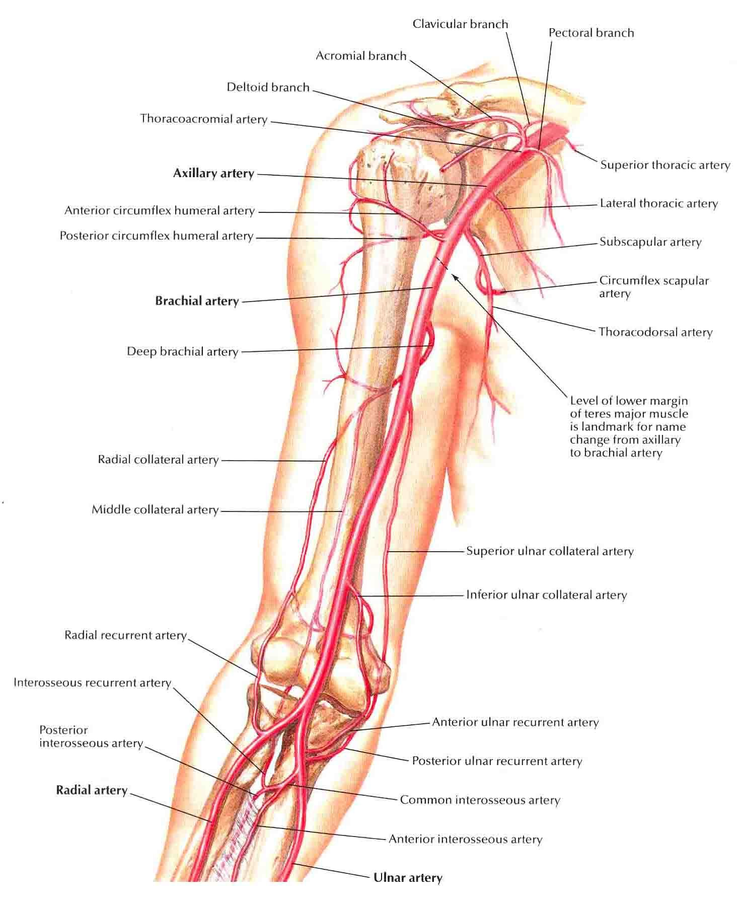 brachial artery and anastomoses around elbow | medicine and pa school, Human body