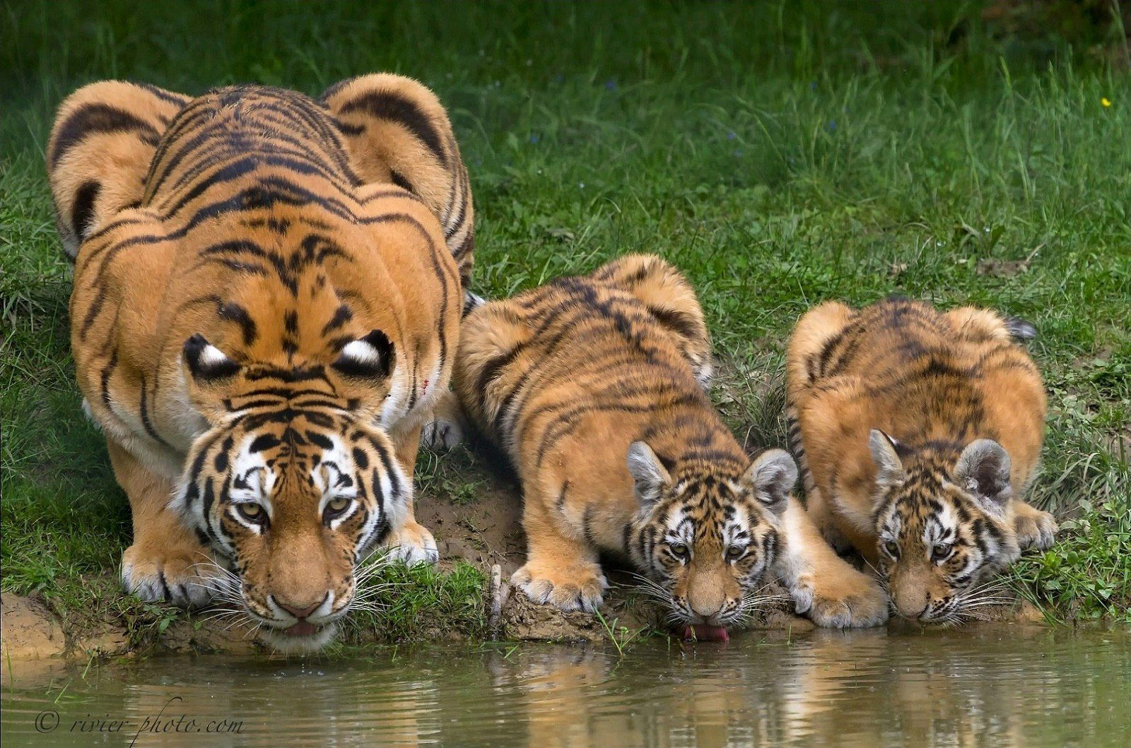 Tiger family taking a drink Tiger facts, Animals, Big cats