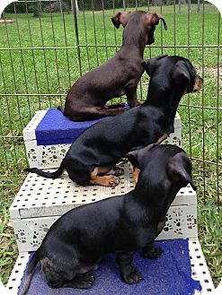 Texas Janet S Puppies Are Adoptable Chiweenies In Humble