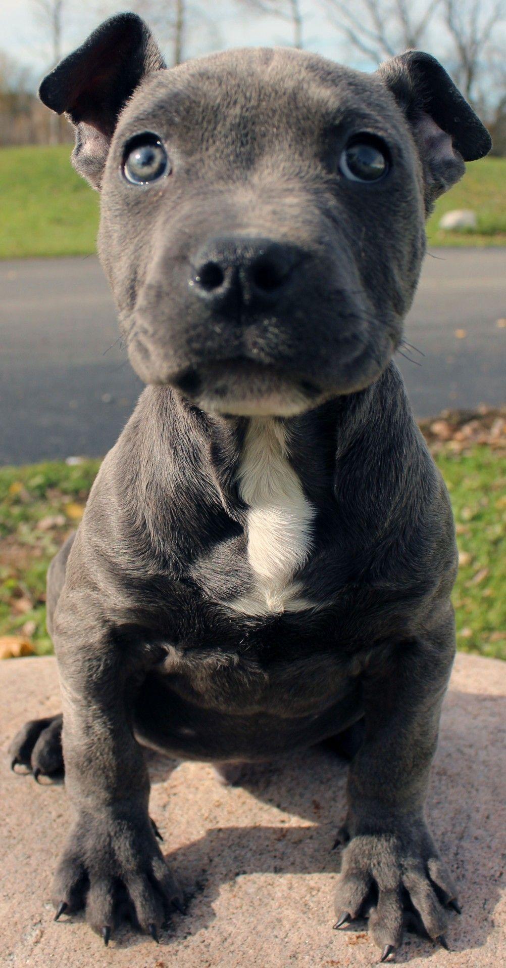 Pin By Larry Pool On Pitbull Pitbull Puppies Blue Nose Pitbull