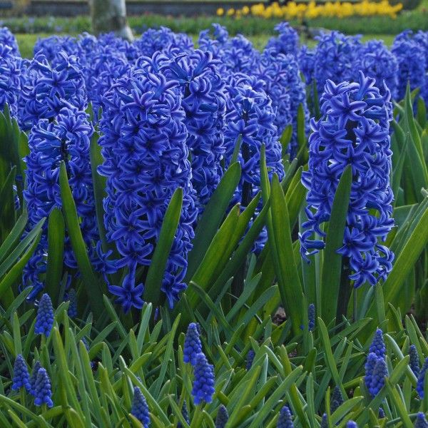 Die Hyazinthe \'Blue Jacket\' blüht in leuchtendem Royalblau ...
