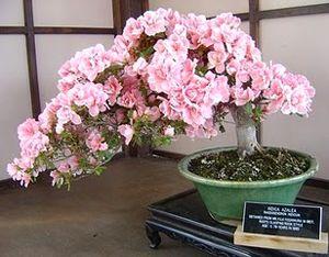 Japanese Cherry Bonsai Tree Bonsai Plants Bonsai Tree Types