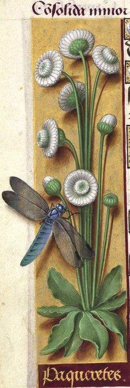 Paqueretes - Consolida minor (Bellis perennis L. = petite marguerite, pâquerette cultivée, avec fleurs doubles entièrement blanches) -- Grandes Heures d'Anne de Bretagne, BNF, Ms Latin 9474, 1503-1508, f°78v