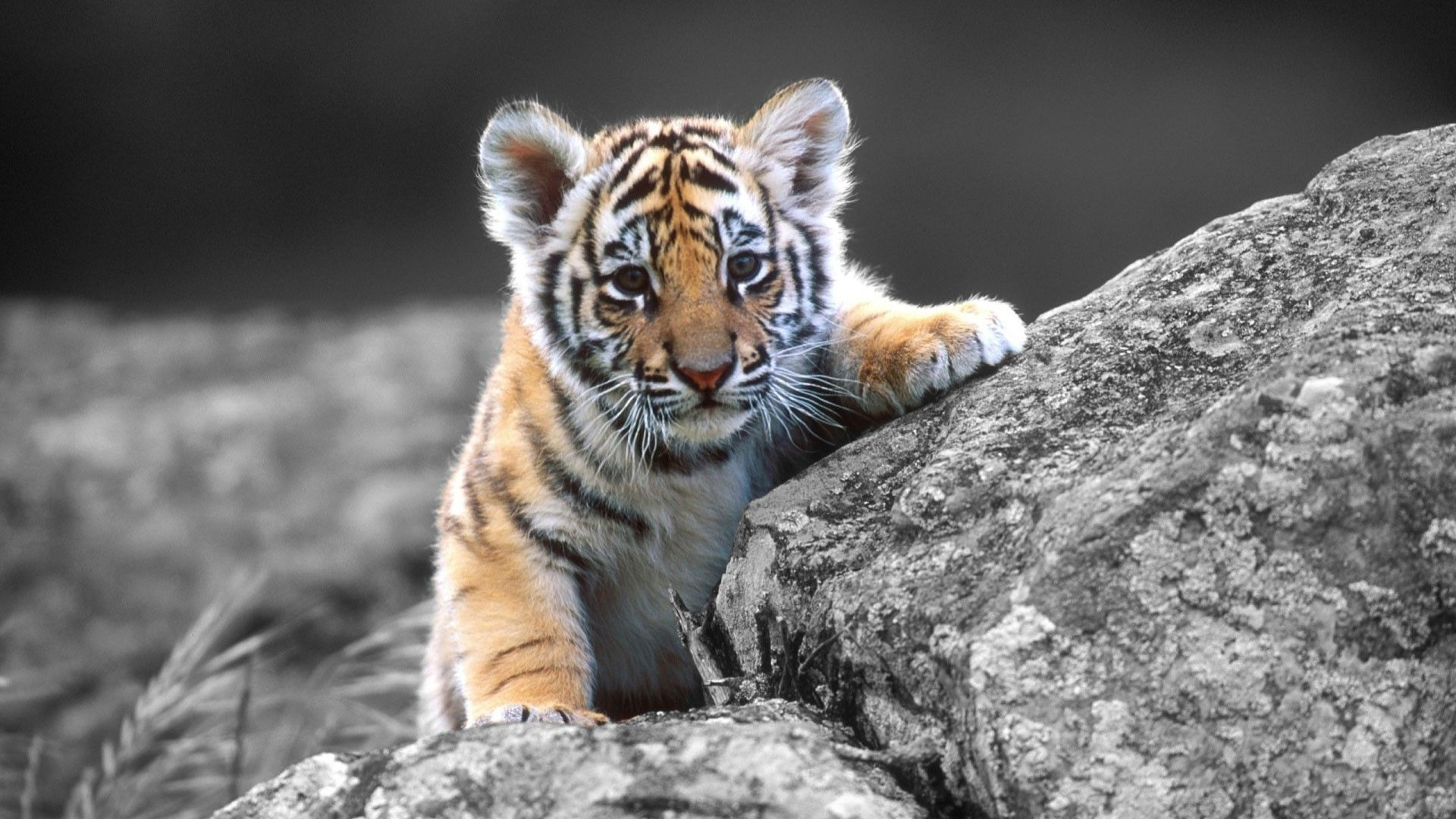 Animal Wallpaper Hd 1080p Free Download Fresh Animals Hd Wallpapers 1080p High Definition Wallpapers Walpepar An Tiger Images Tiger Pictures Animal Wallpaper