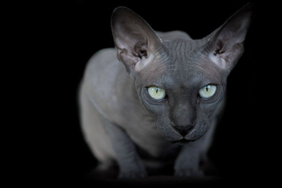 Sphynx Cat Portraits Show What's Really Happening Beneath All That Fur