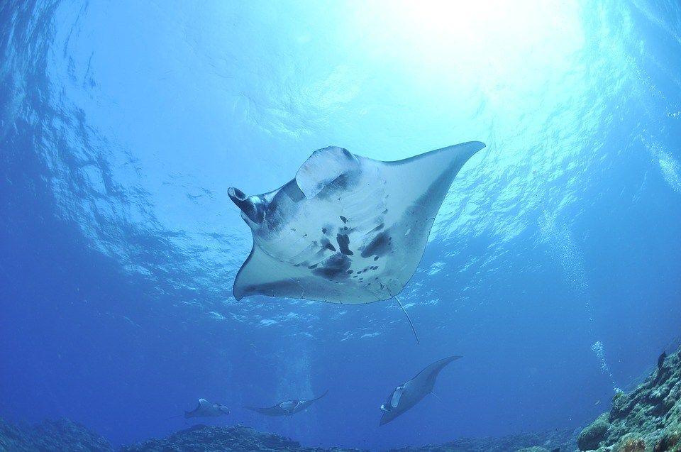 Swimming With Manta Rays Komodo Boat Trip