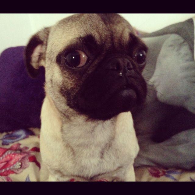 Pug Dog Animal Bulldog