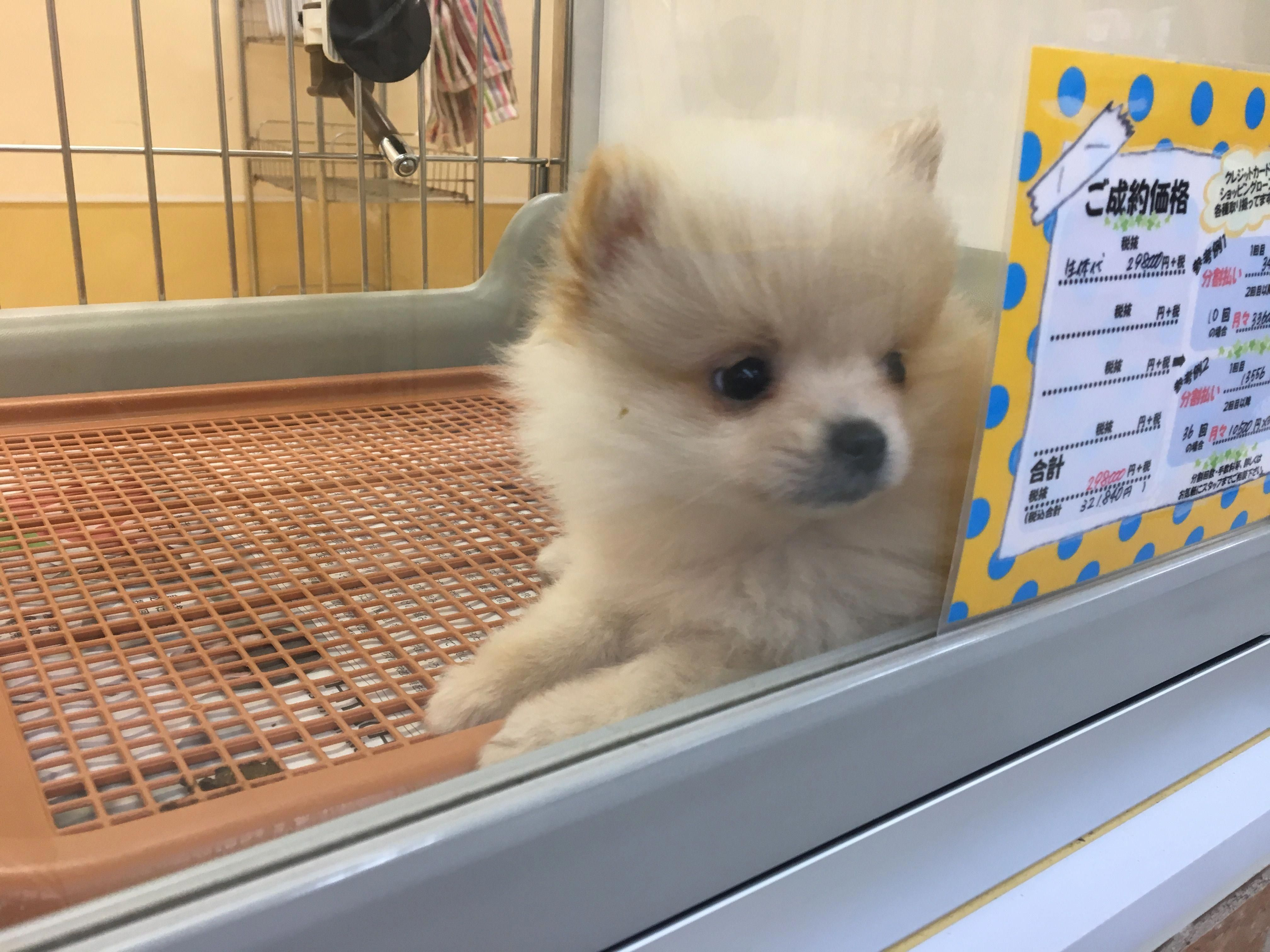 More About Small Pomeranian Puppies Grooming Pomeraniansofig