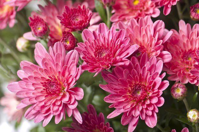 14 Best Fall Blooming Flowers For Your Perennial Garden Fall Flowers Garden Autumn Garden Fall Blooming Flowers
