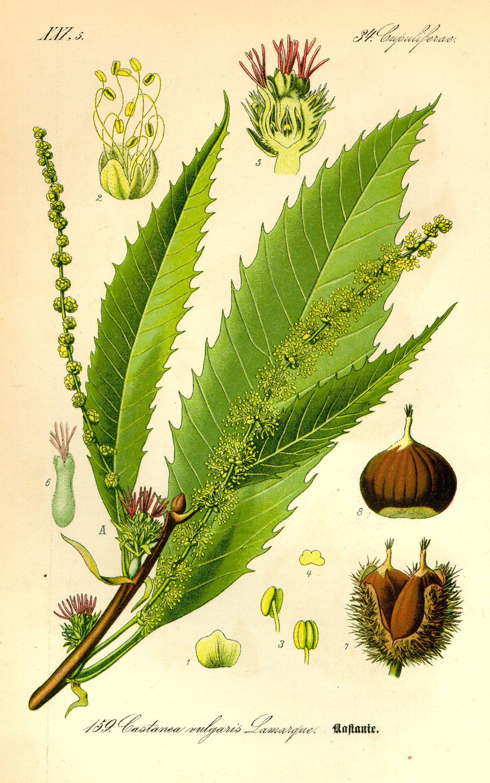 Le foglie di Castagno propriet astringenti antisettiche e sedative della tosse