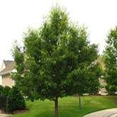 Search Results Fast Growing Trees Nursery