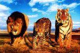 Felinos salvajes Lámina