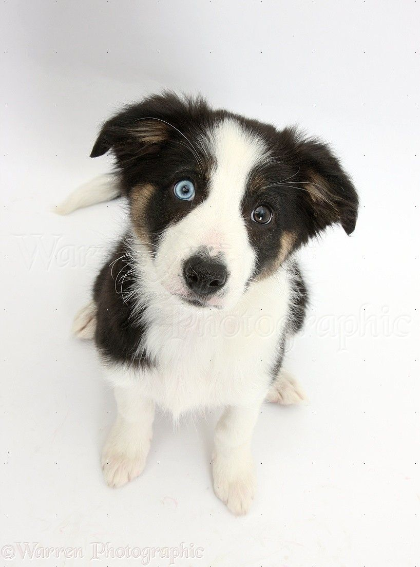 40346-Odd-eyed-Tricolour-Border-Collie-pup-looking-up-white-background.jpg (818×1104)