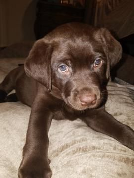 Chocolate lab puppies for sale los angeles