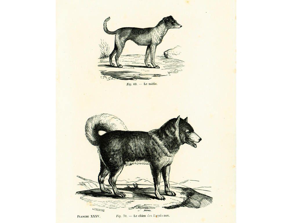 1867 Antique Sled Dogs Print Husky Illustration Musher