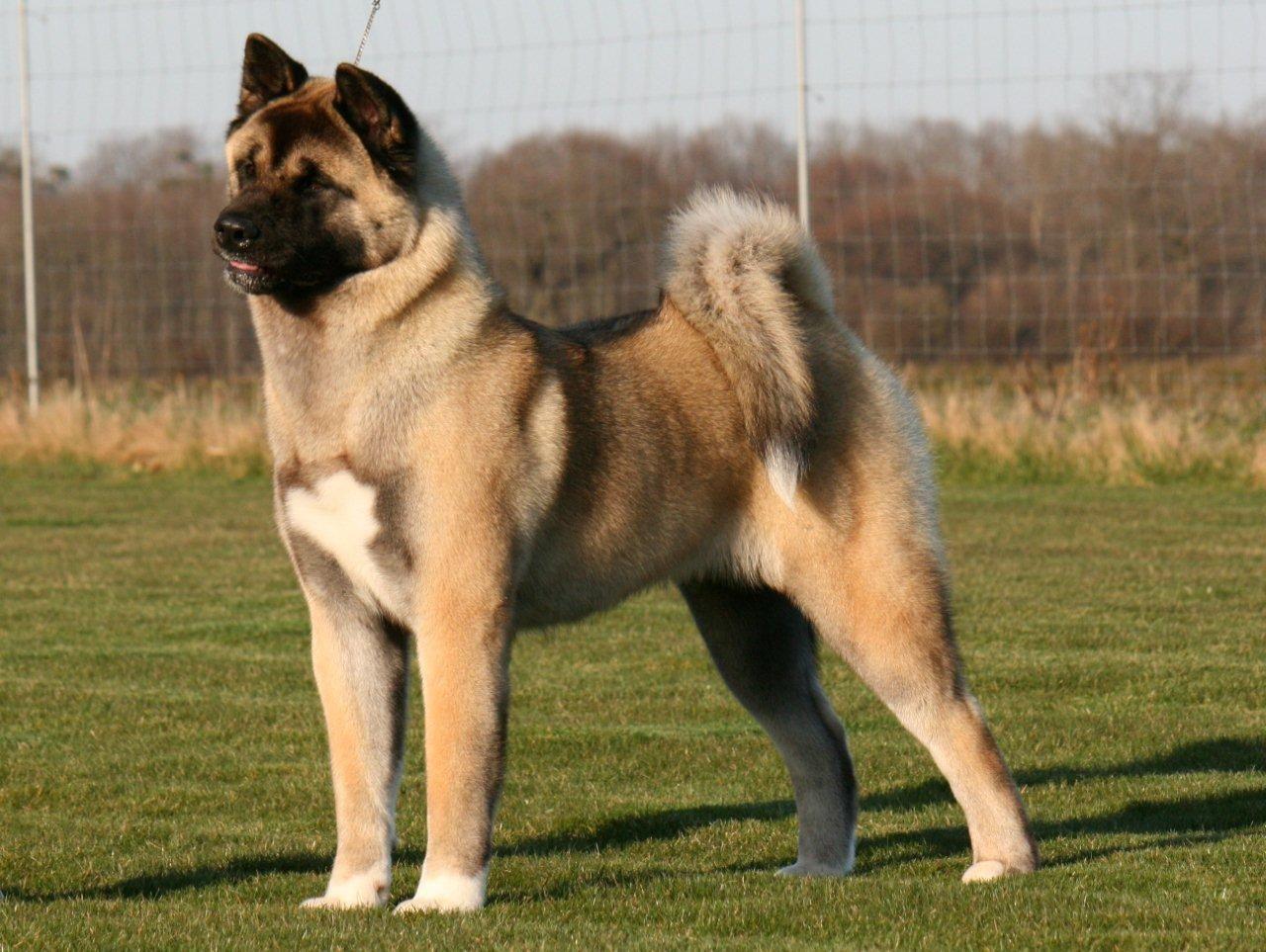 Fawn American Akita Dog Rocky Cachorros Akita Perro Akita Akita