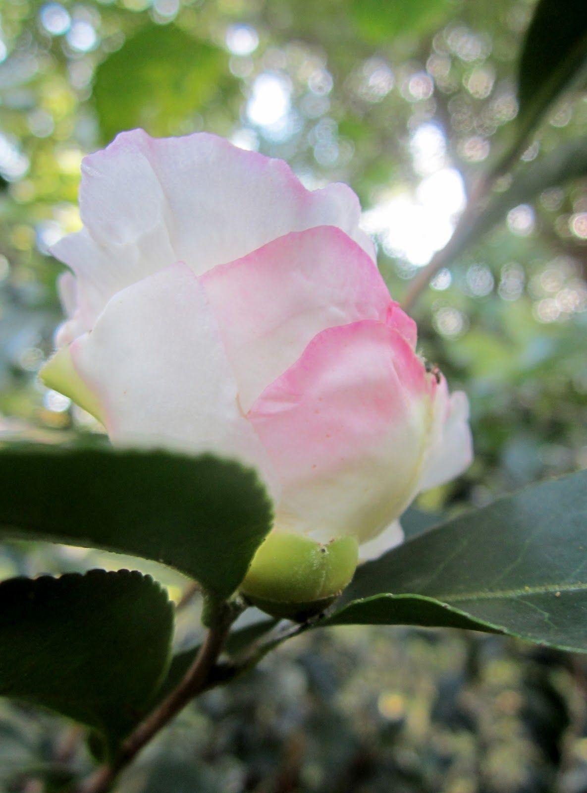 Birdbath Soup: Camellia & Clematis day