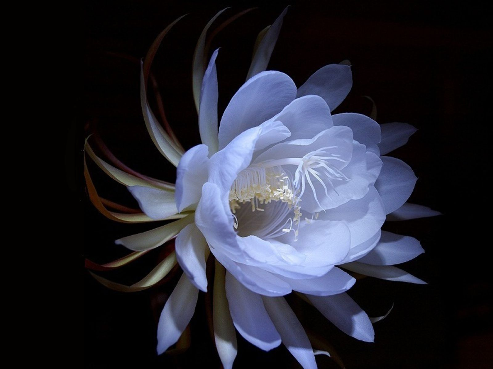 Queen Of The Night Flower Alpha Coders Wallpaper Abyss