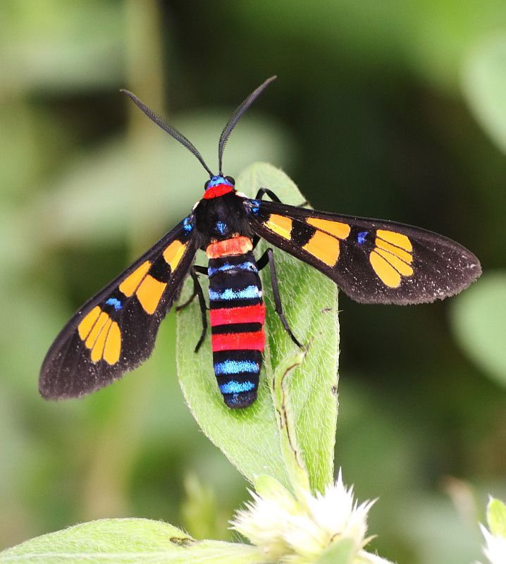 libutron:  Colorful insect | ©Karthik JP An Asian Wasp Moth, Euchromia polymena (Arctiidae) from Trichy, Tamil Nadu, India.