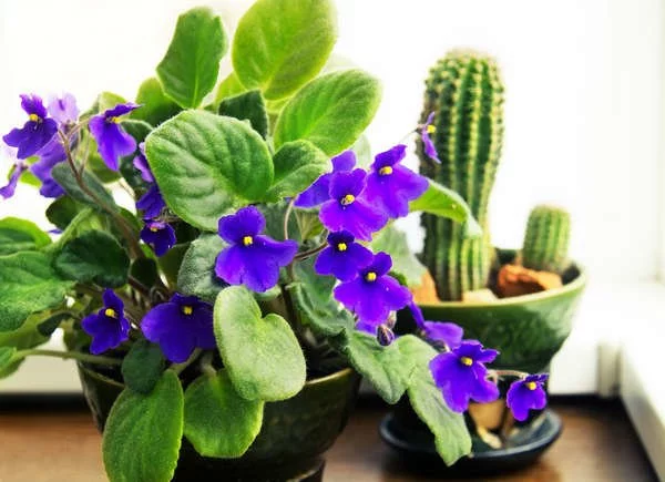 20 Flowering Houseplants That Will Add Beauty to Your Home is part of Small indoor plants, Plants, Flower pot design, Indoor plants, Houseplants, House plants - Leafy green houseplants are wonderful (and many of them require little care), but why not expand your indoor gardening skills by adding a few flowering houseplants into the mix  Blooming plants inject vibrancy, color, and fragrance into your living space  Take a look at 20 of our favorite flowering houseplants to find inspiration for your next plant acquisition