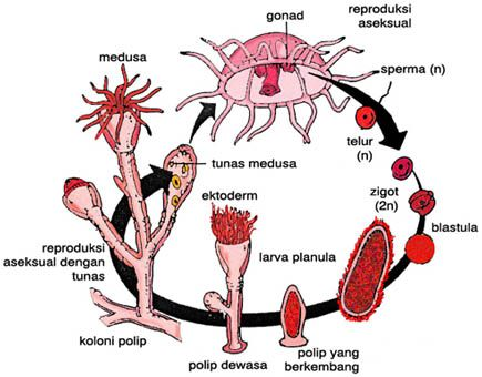 Hydra Life Cycle Diagram Auto Electrical Wiring Diagram