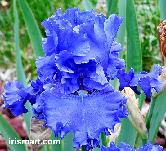 Ripping River Tall Bearded Iris Iris Flowers Beautiful Flowers Iris