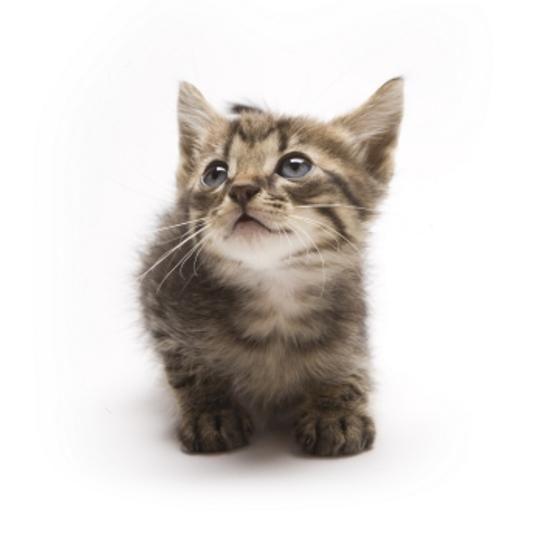 Munchkin Cat Gallery Slideshow Munchkincat Munchkinkittens