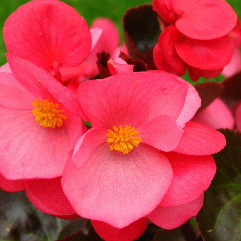 Begonia Pink Pink Begonia Hd Ipad Wallpaper 80455 Begonia