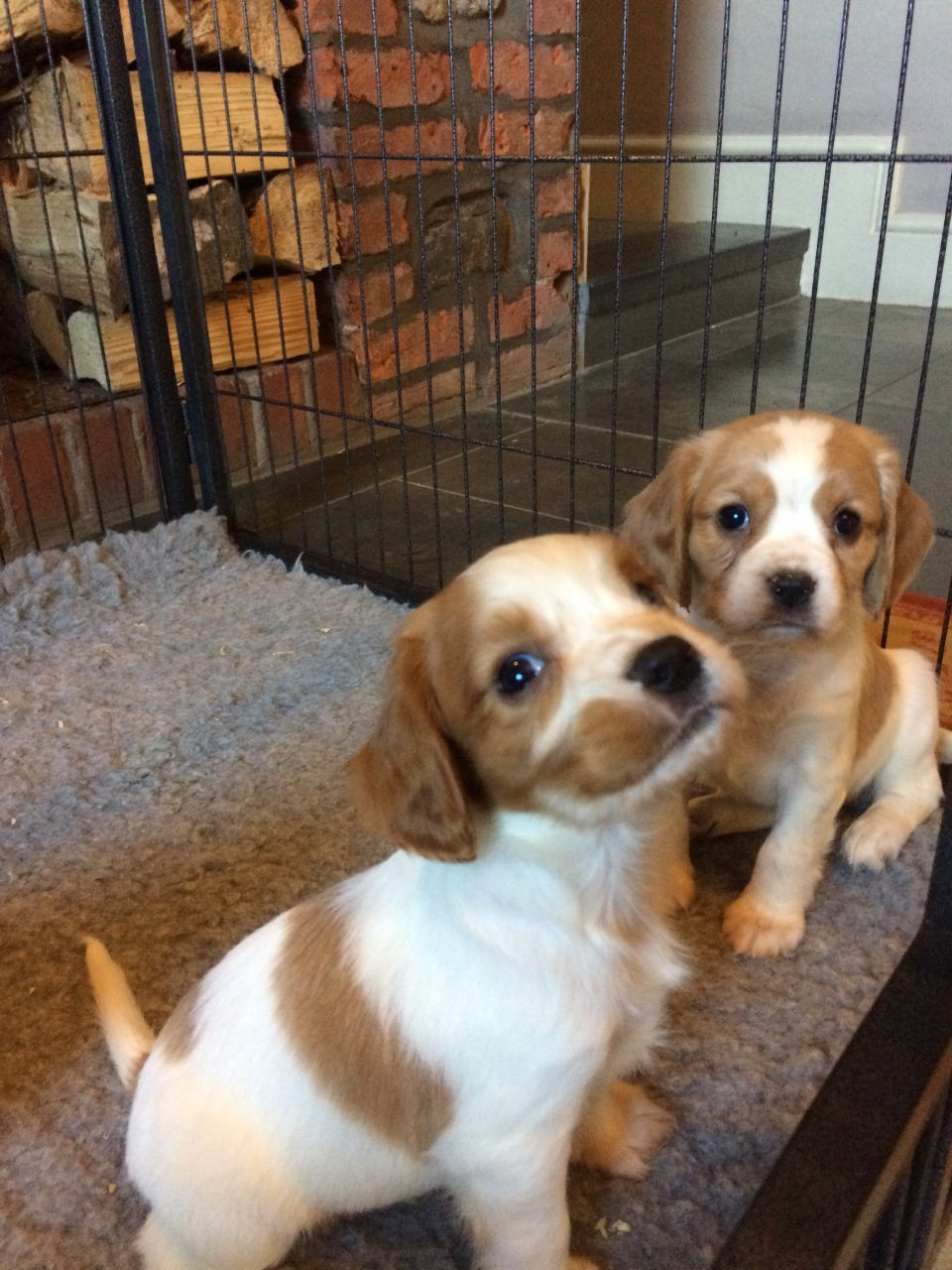 Cockerlier Puppies Carmarthen Carmarthenshire Pets4homes