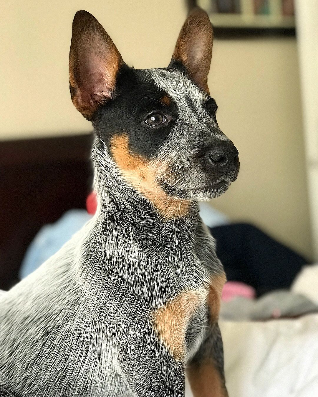 Doc At 9 Weeks Blue Heeler Australiancattledog Blueheeler Austrailian Cattle Dog Rat Terrier Dogs Blue Heeler Puppies