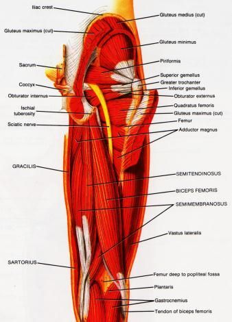 There Are 3 Hamstring Muscles They Are The Biceps Femoris