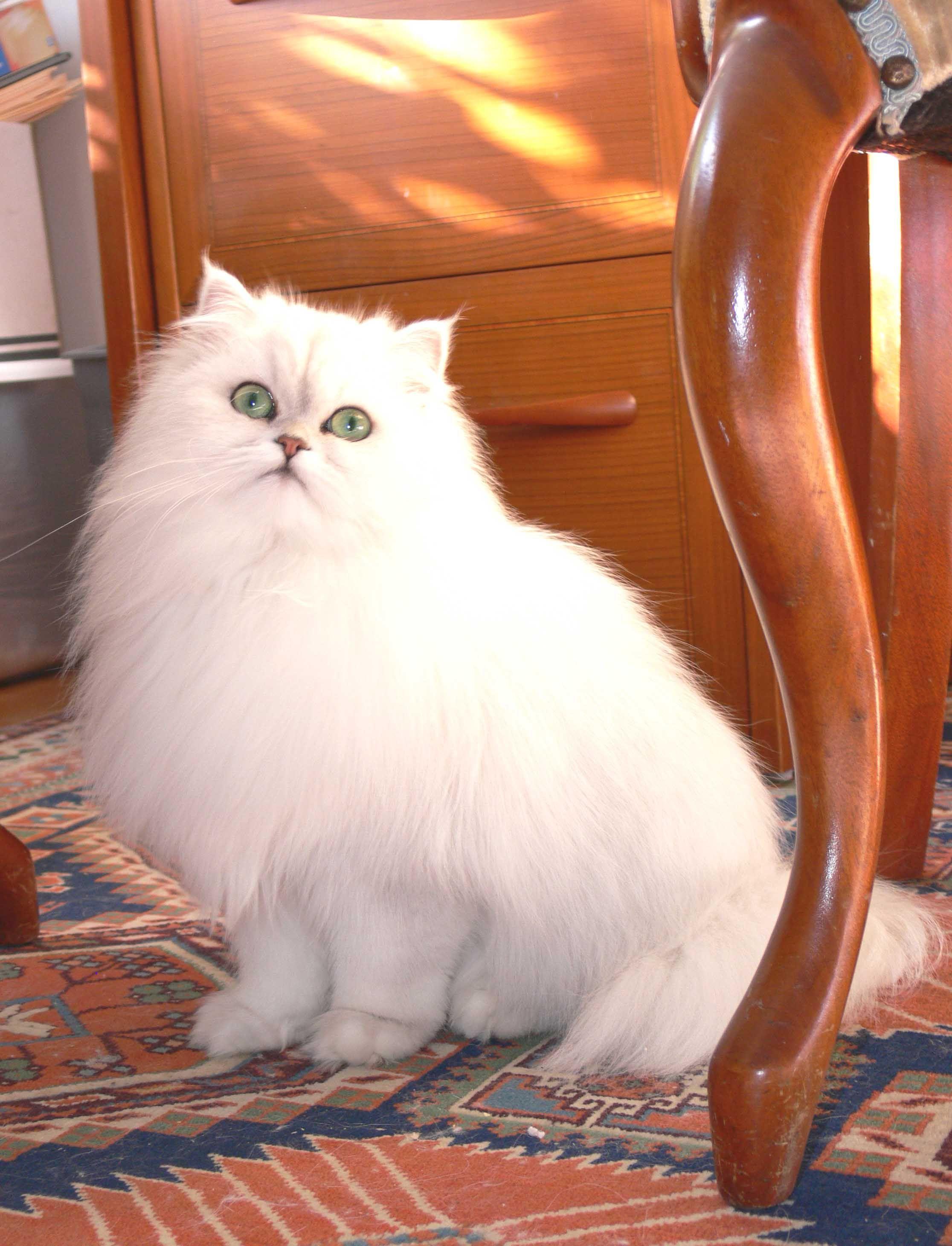 chinchilla persian cats