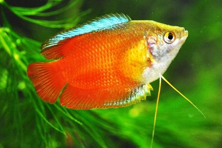 Dwarf Gouramis are also part of a group of fish known as