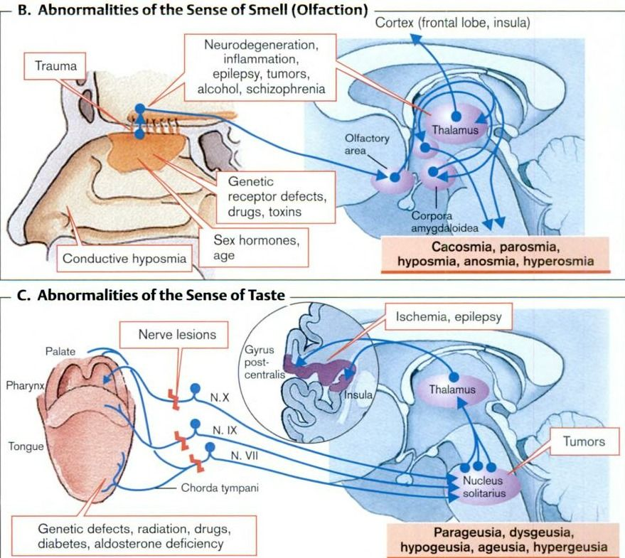 Abnormalities Of Smell And Taste Diy Pinterest Physiology