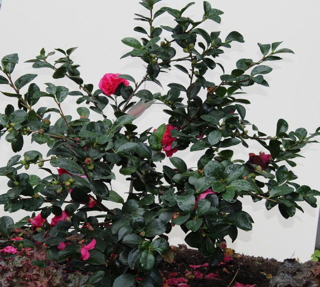 Botanical Name Camellia Sasanqua Many Colors And Varieties Are Available Setsugekka Is Shown Here Usda Zones 7 To 10 Find Y Plants Piante Plant
