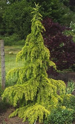Cedrus Deodara Aurea Golden Deodar Cedar Qty 1 1 Top Of The