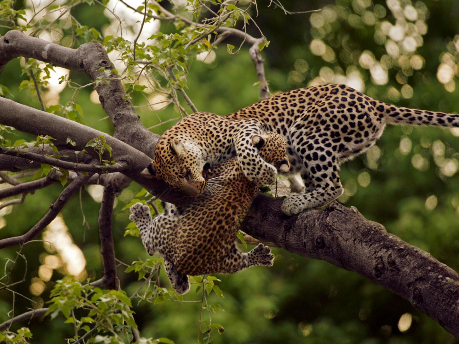 A leopard hangs on to her cub