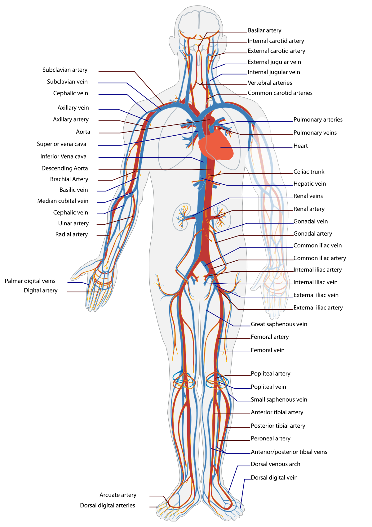 Circulatory system - Wikipedia | Medicine | Pinterest | Circulatory ...