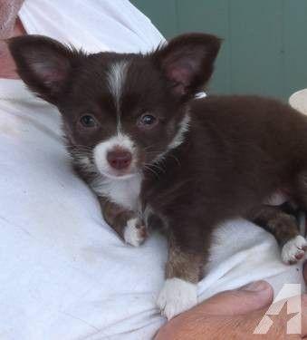 Apri Reg Female Chihuahua Puppy Chocolate And White Long Haired Chihuahua Puppies Chihuahua Love Chihuahua